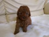 トイプードルの子犬画像 レッド 005
