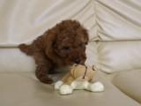 トイプードルの子犬画像 No.006