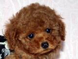 トイプードル レッド 女の子 12月1 日生まれ