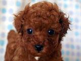 トイプードル レッド 男の子 11月29日生まれ