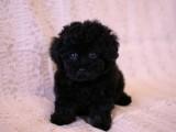 トイプードルの子犬画像 ブラック No.007