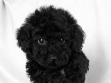 トイプードルの子犬画像 ブラック No.008
