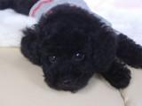 トイプードルの子犬画像 ブラック No.009