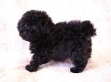 トイプードルの子犬画像 ブラック No.010
