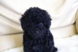 トイプードルの子犬画像 ブラック No.011
