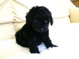 トイプードルの子犬画像 ブラック No.012