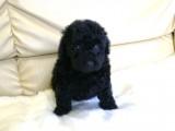 トイプードルの子犬画像 ブラック No.013