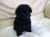 トイプードルの子犬画像 ブラック No.014