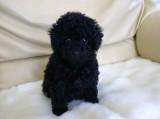 トイプードルの子犬画像 ブラック No.015