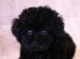 トイプードルの子犬画像 ブラック No.018
