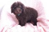トイプードルの子犬画像 ブラウン No.001