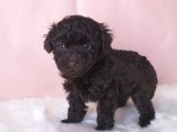 トイプードルの子犬画像 ブラウン No.005