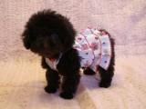 トイプードルの子犬画像 ブラウン No.006