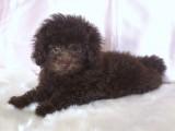 トイプードルの子犬画像 ブラウン No.007