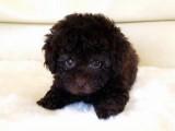 トイプードルの子犬画像 ブラウン No.009