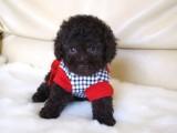 トイプードルの子犬画像 ブラウン No.010