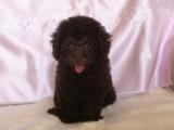 トイプードルの子犬画像 ブラウン No.011