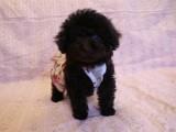 トイプードルの子犬画像 ブラウン No.012