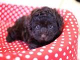 トイプードルの子犬画像 ブラウン No.013