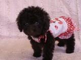 トイプードルの子犬画像 ブラウン No.014