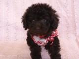 トイプードルの子犬画像 ブラウン No.015