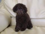 トイプードルの子犬画像 ブラウン No.017