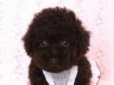トイプードルの子犬画像 ブラウン No.018