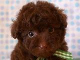 トイプードル ブラウン 10月7日生まれ 男の子