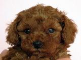 トイプードル  レッド 男の子 2月3日生まれ