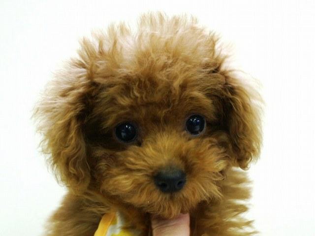 No.0509 トイプードル レッド 女の子 2011年11月23日生まれ 千葉県