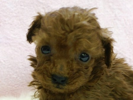 No.0511 ティーカッププードル レッド 男の子 2011年11月23日生まれ 千葉県