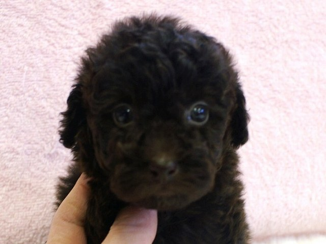 No.0512 トイプードル ブラウン 女の子 2011年11月29 日生まれ 千葉県