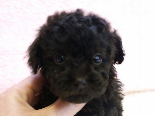 No.0514 トイプードル ブラウン 女の子 2011年11月29 日生まれ 千葉県