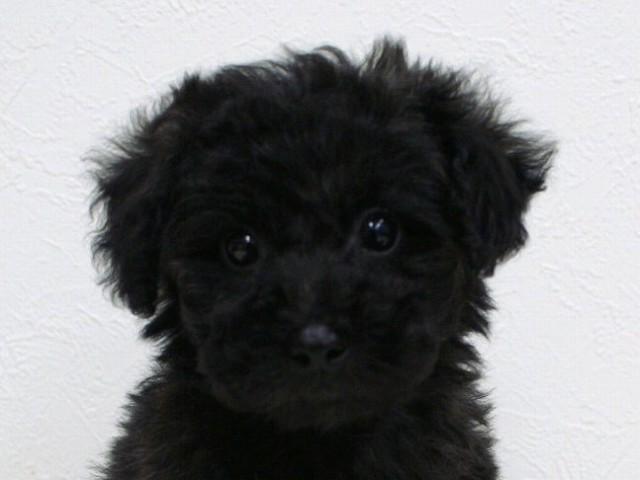 No.0515 トイプードル シルバー 女の子 2011年11月29 日生まれ 千葉県