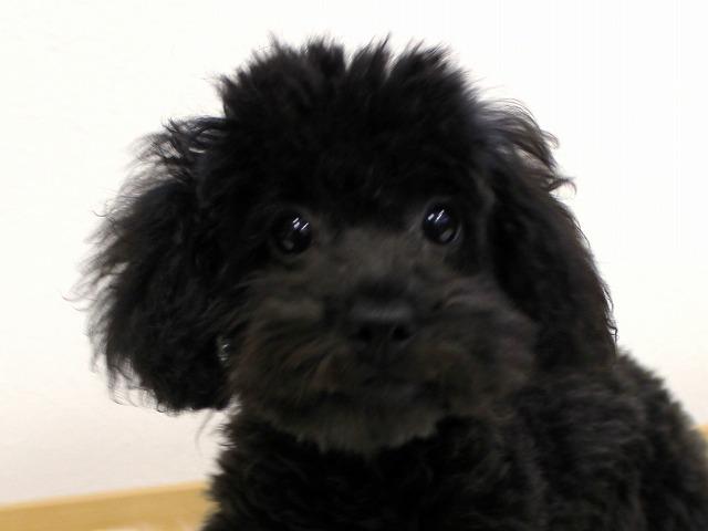 No.0516 トイプードル ブラック 女の子 2011年11月29 日生まれ 千葉県