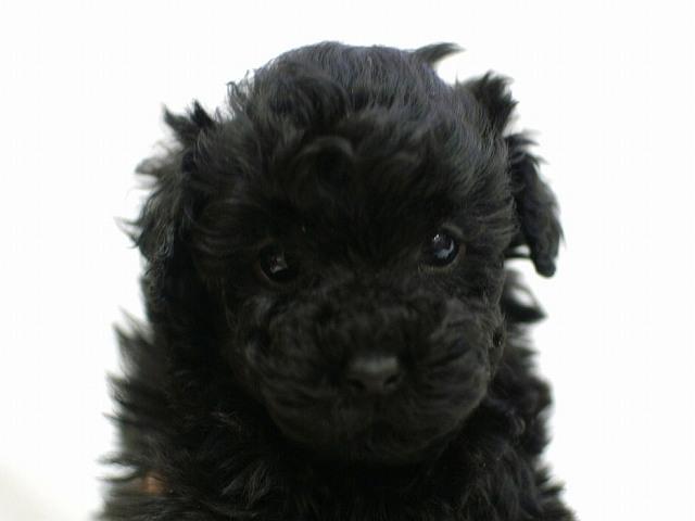 No.0517 トイプードル ブラック 女の子 2011年12月3日生まれ 千葉県
