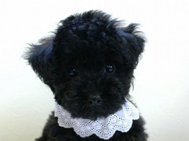 No.0518 トイプードル ブラック 女の子 2011年12月3日生まれ 千葉県