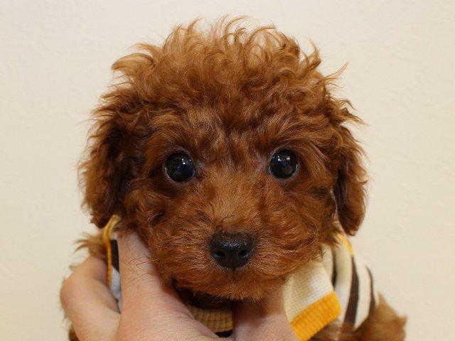 NO.522 トイプードル レッド 男の子 2012年2月12日生まれ 千葉県