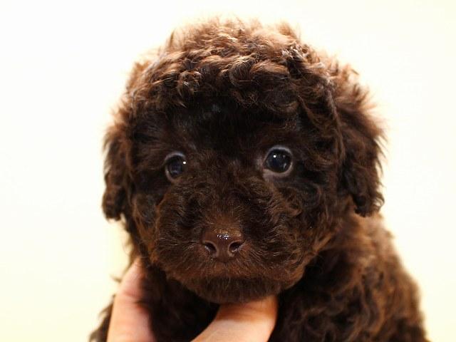 NO.525 トイプードル ブラウン 男の子 2012年2月16日生まれ 千葉県