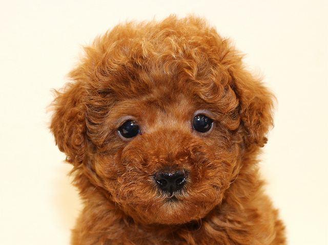 NO.527 トイプードル レッド 男の子 2012年2月20日生まれ 千葉県