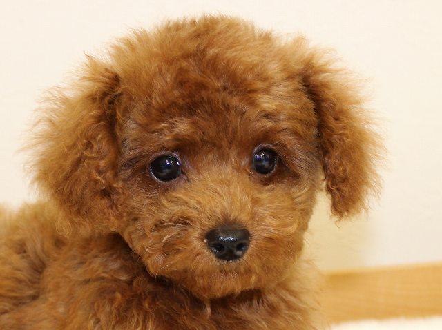 NO.532 トイプードル レッド 女の子 2012年3月8日生まれ 千葉県