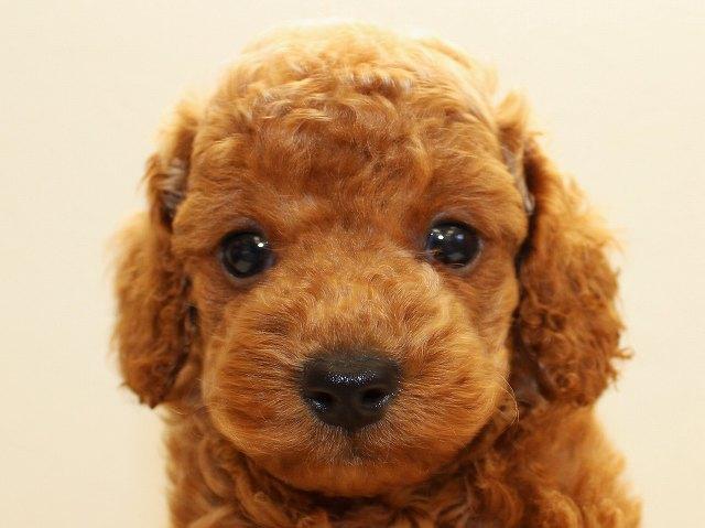 NO.533 トイプードル レッド 男の子 2012年6月17日生まれ 千葉県