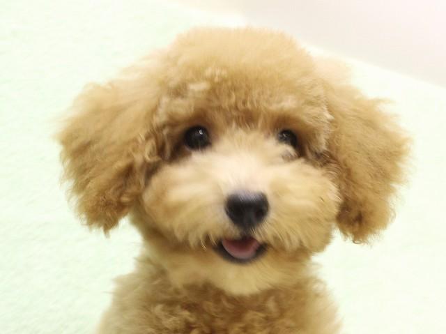 NO.534 トイプードル アプリコット 男の子 2012年6月22日生まれ 千葉県
