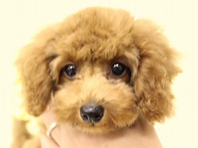NO.543 トイプードル レッド 女の子 2012年6月23日生まれ 千葉県
