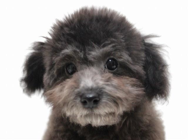 NO.552 ティーカッププードル シルバー 男の子 2012年9月7日生まれ 千葉県