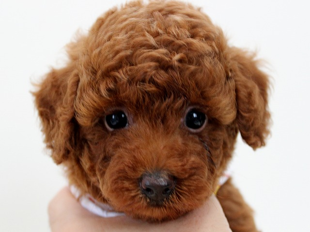 トイプードルのレッドの子犬