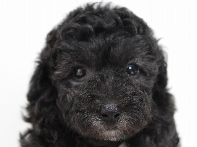 トイプードルの子犬画像 シルバー