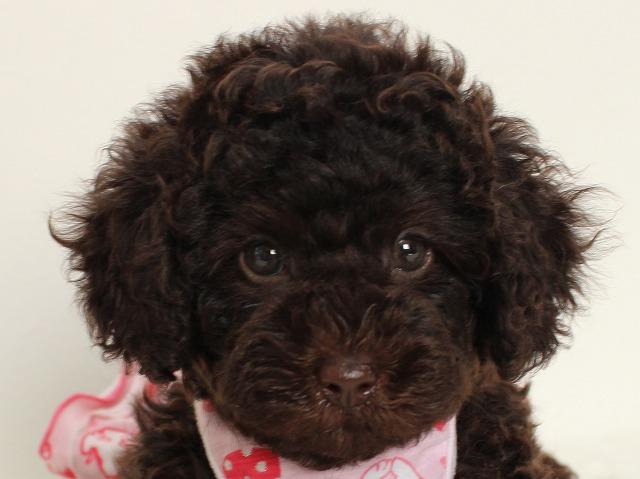 トイプードルの子犬 ブラウンの女の子