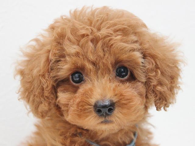 トイプードルの子犬 レッドのオス