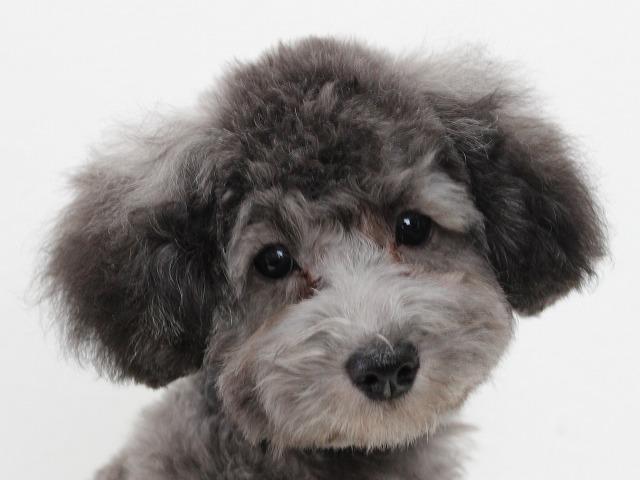トイプードルのシルバー 子犬画像